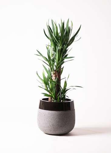 観葉植物 ユッカ 8号 ファイバーストーン タウルス ミドル 黒 付き