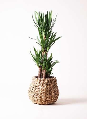 観葉植物 ユッカ 8号 ノーマル ラッシュバスケット Natural 付き