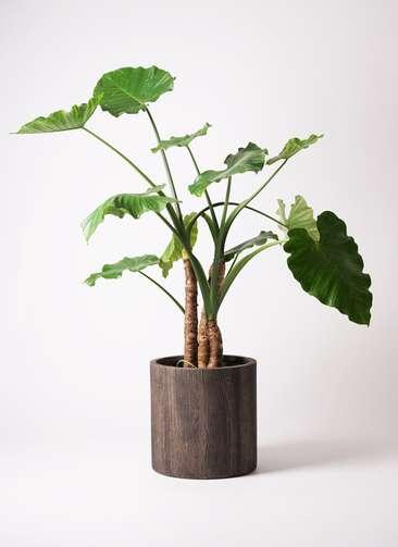 観葉植物 クワズイモ 10号 アルファシリンダープランター 付き