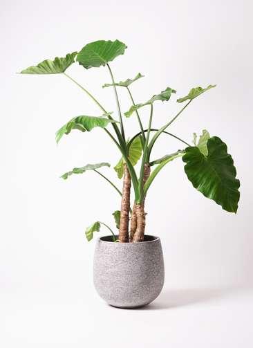 観葉植物 クワズイモ 10号 エコストーンGray 付き