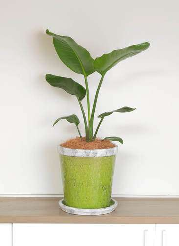 観葉植物 オーガスタ 6号 アンティークテラコッタGreen 付き