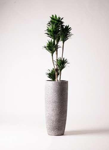 観葉植物 ドラセナ コンパクター 8号 エコストーントールタイプ Gray 付き