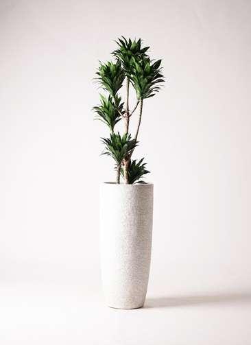 観葉植物 ドラセナ コンパクター 8号 エコストーントールタイプ white 付き