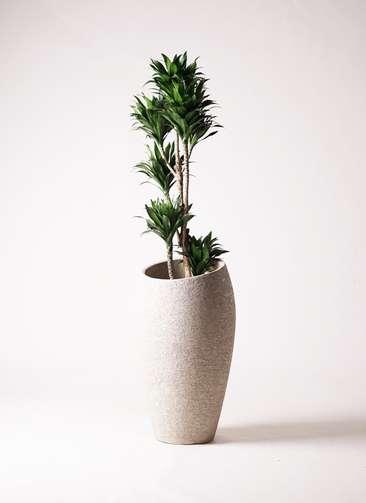観葉植物 ドラセナ コンパクター 8号 エコストーントールタイプ Light Gray 付き