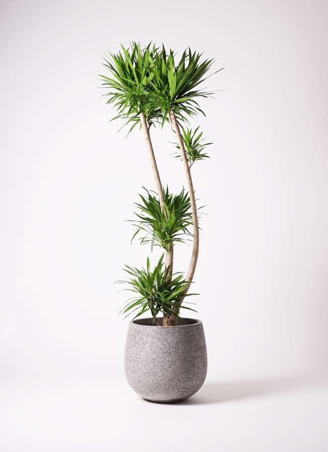 観葉植物 ドラセナ ナビー 10号 股作り エコストーンGray 付き