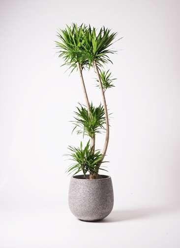 観葉植物 ドラセナ ナビー 10号 エコストーンGray 付き