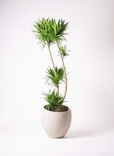 観葉植物 ドラセナ ナビー 10号 エコストーンLight Gray 付き