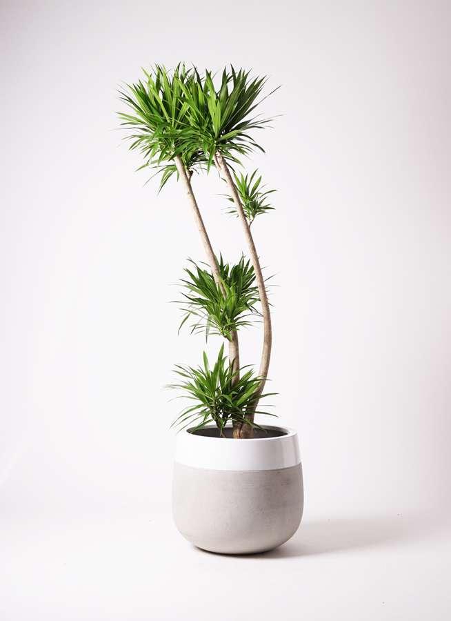 観葉植物 ドラセナ ナビー 10号 股作り ファイバーストーンタウルス ミドル 白 付き