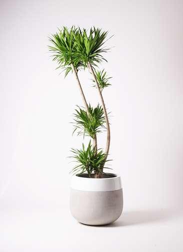 観葉植物 ドラセナ ナビー 10号 ファイバーストーンタウルス ミドル 白 付き