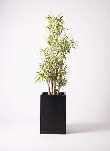 観葉植物 ドラセナ ソング オブ インディア 10号 セドナロング 墨 付き