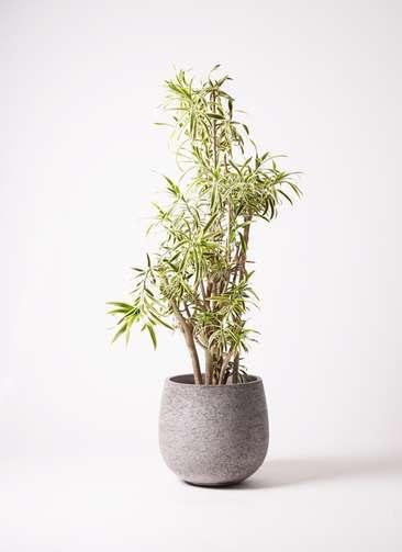観葉植物 ドラセナ ソング オブ インディア 10号 エコストーンGray 付き