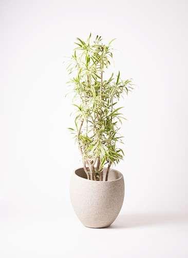 観葉植物 ドラセナ ソング オブ インディア 10号 エコストーンLight Gray 付き