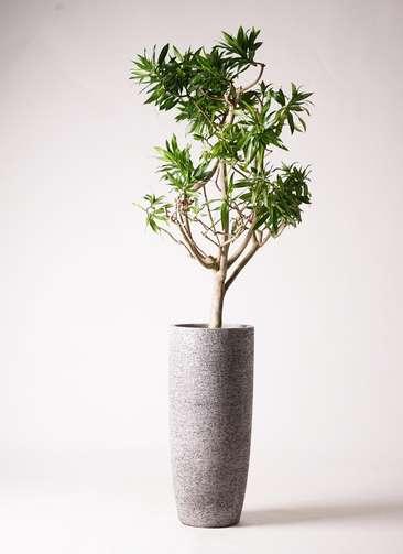 観葉植物 ドラセナ ソング オブ ジャマイカ 8号 エコストーントールタイプ Gray 付き