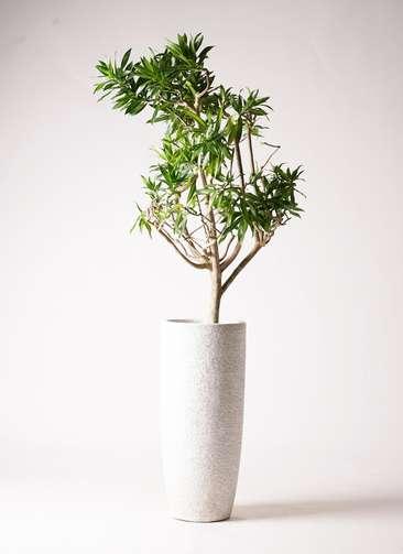 観葉植物 ドラセナ ソング オブ ジャマイカ 8号 エコストーントールタイプ white 付き