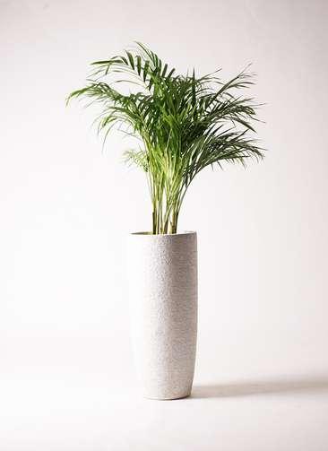観葉植物 アレカヤシ 8号 エコストーントールタイプ white 付き