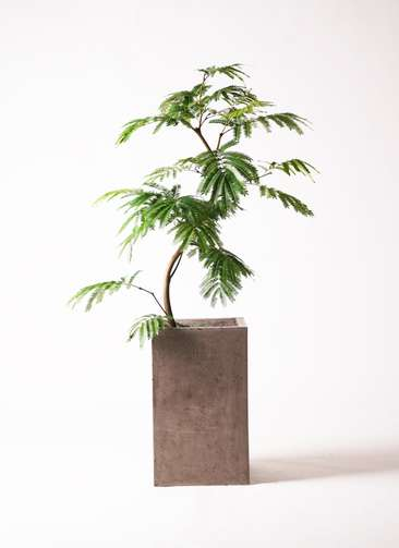 観葉植物 エバーフレッシュ 8号 曲り セドナロング グレイ 付き