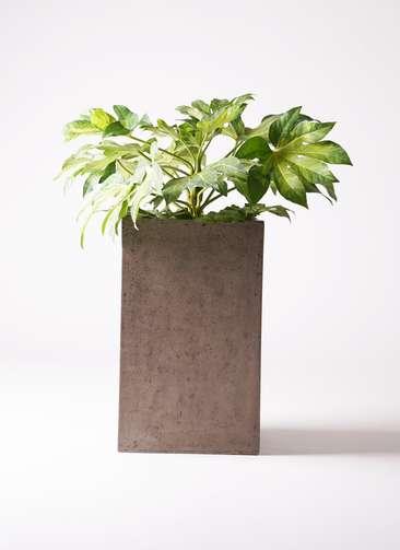 観葉植物 ヤツデ 7号 セドナロング グレイ 付き