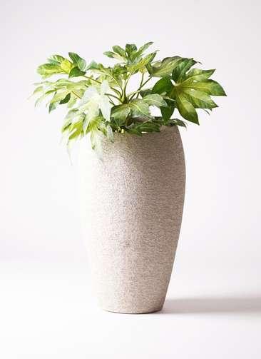 観葉植物 ヤツデ 7号 エコストーントールタイプ Light Gray 付き