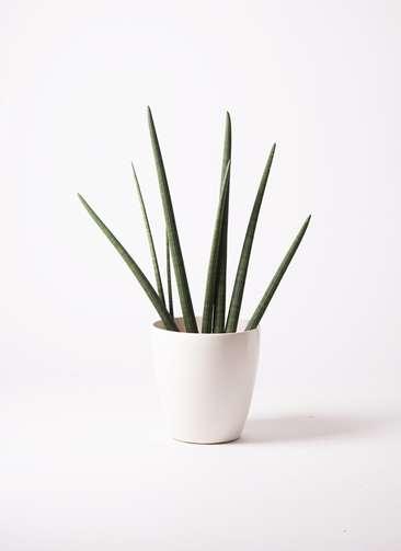 観葉植物 サンスベリア スタッキー 10号 ラスターポット 付き