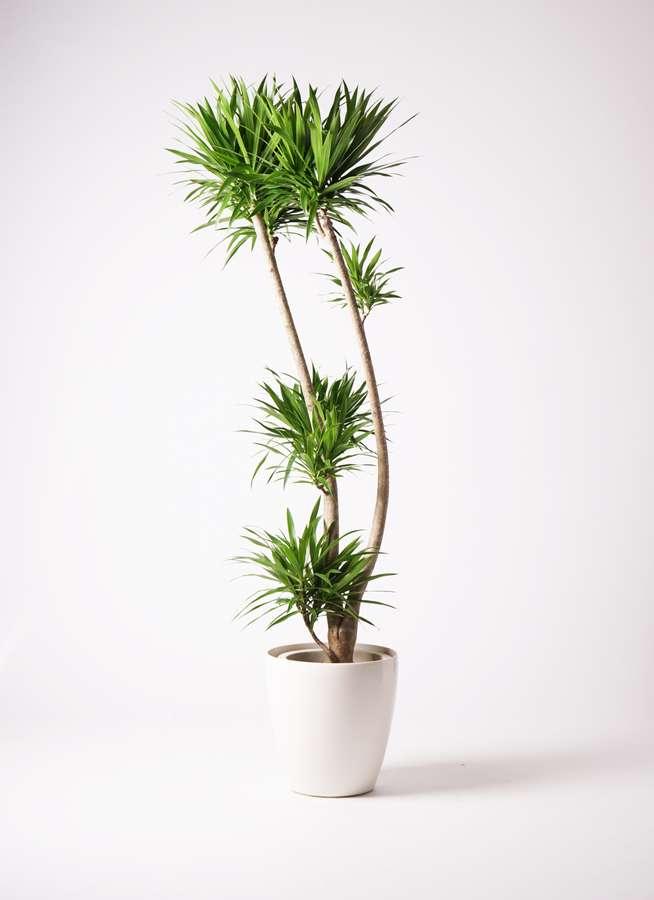 観葉植物 ドラセナ ナビー 10号 股作り ラスターポット 付き