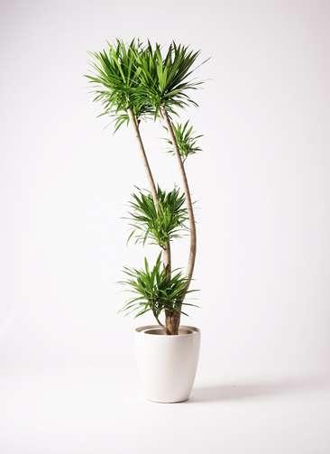観葉植物 ドラセナ ナビー 10号 ラスターポット 付き