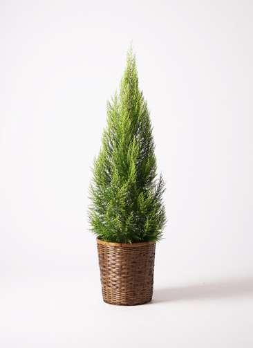 観葉植物 ゴールドクレスト 10号 竹バスケット 付き