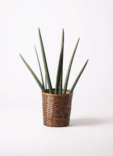 観葉植物 サンスベリア スタッキー 10号 竹バスケット 付き