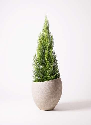 観葉植物 ゴールドクレスト 10号 エコストーンLight Gray 付き