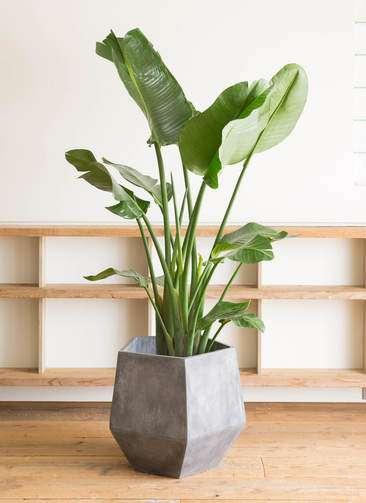 観葉植物 オーガスタ 10号 ファイバークレイGray 付き