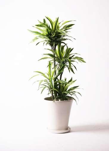 観葉植物 ドラセナ ワーネッキー レモンライム 10号 サブリナ 白 付き
