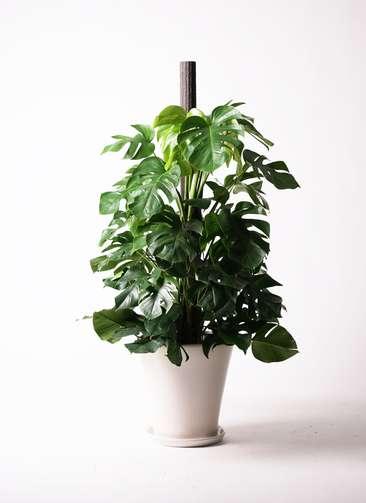 観葉植物 モンステラ 10号 ヘゴ柱 サブリナ 白 付き