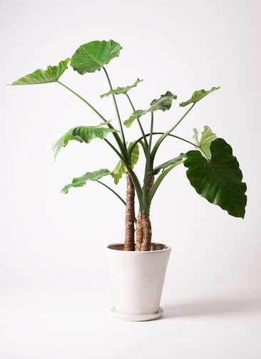 観葉植物 クワズイモ 10号 サブリナ 白 付き