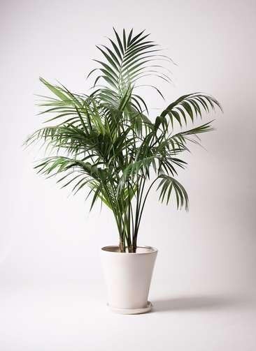 観葉植物 ケンチャヤシ 10号 サブリナ 白 付き