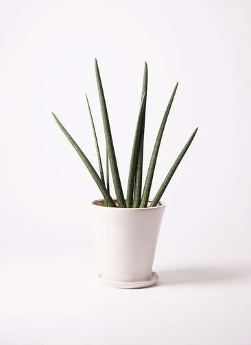 観葉植物 サンスベリア スタッキー 10号 サブリナ 白 付き