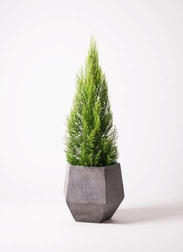 観葉植物 ゴールドクレスト 10号 ファイバークレイGray 付き