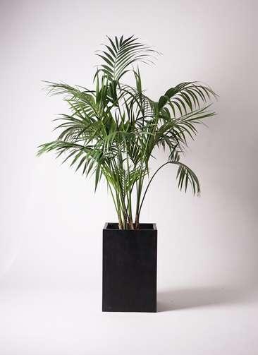 観葉植物 ケンチャヤシ 10号 セドナロング 墨 付き
