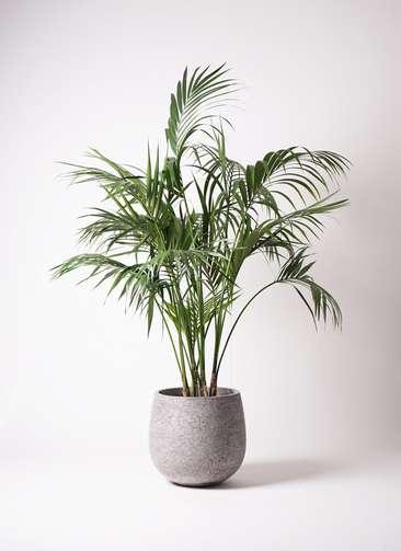 観葉植物 ケンチャヤシ 10号 エコストーンGray 付き