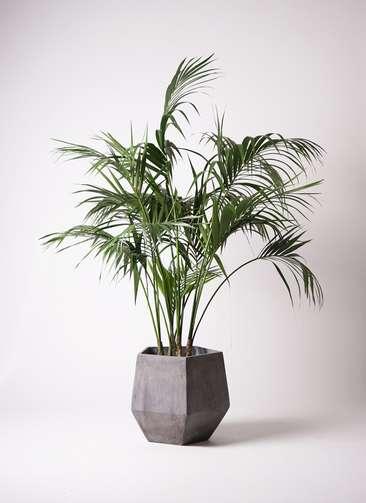 観葉植物 ケンチャヤシ 10号 ファイバークレイGray 付き