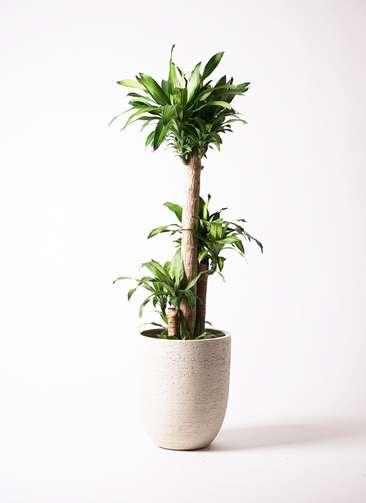 観葉植物 ドラセナ 幸福の木 10号 ビアスアルトエッグ 白 付き