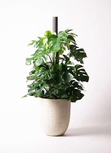 観葉植物 モンステラ 10号 ヘゴ柱 ビアスアルトエッグ 白 付き
