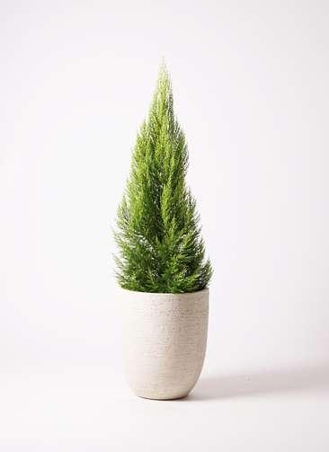 観葉植物 ゴールドクレスト 10号 ビアスアルトエッグ 白 付き