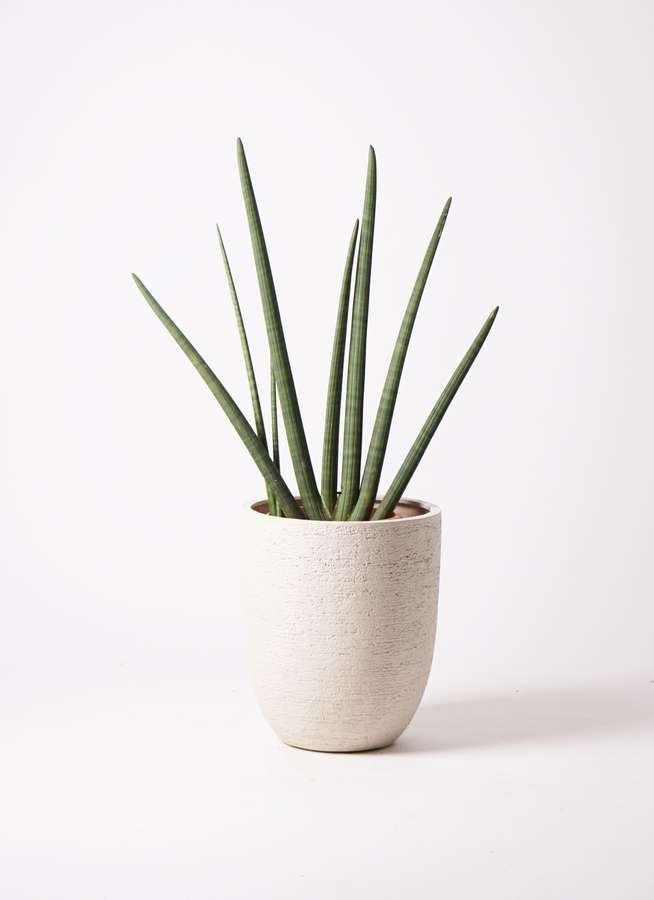観葉植物 サンスベリア スタッキー 10号 ビアスアルトエッグ 白 付き