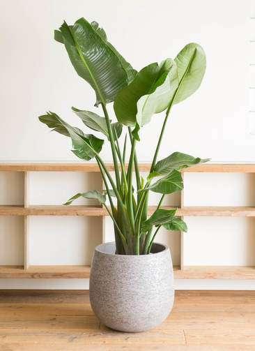 観葉植物 オーガスタ 10号 エコストーンGray 付き