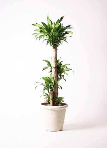 観葉植物 ドラセナ 幸福の木 10号 ビアスリムス 白 付き