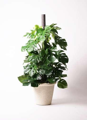 観葉植物 モンステラ 10号 ビアスリムス 白 付き