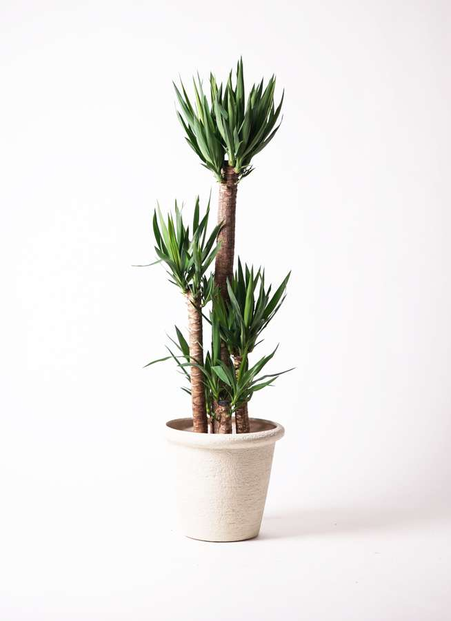 観葉植物 ユッカ 10号 ノーマル ビアスリムス 白 付き