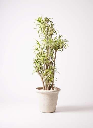 観葉植物 ドラセナ ソング オブ インディア 10号 ビアスリムス 白 付き