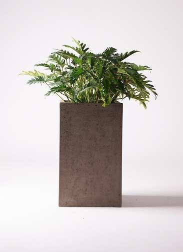 観葉植物 クッカバラ 7号 セドナロング グレイ 付き