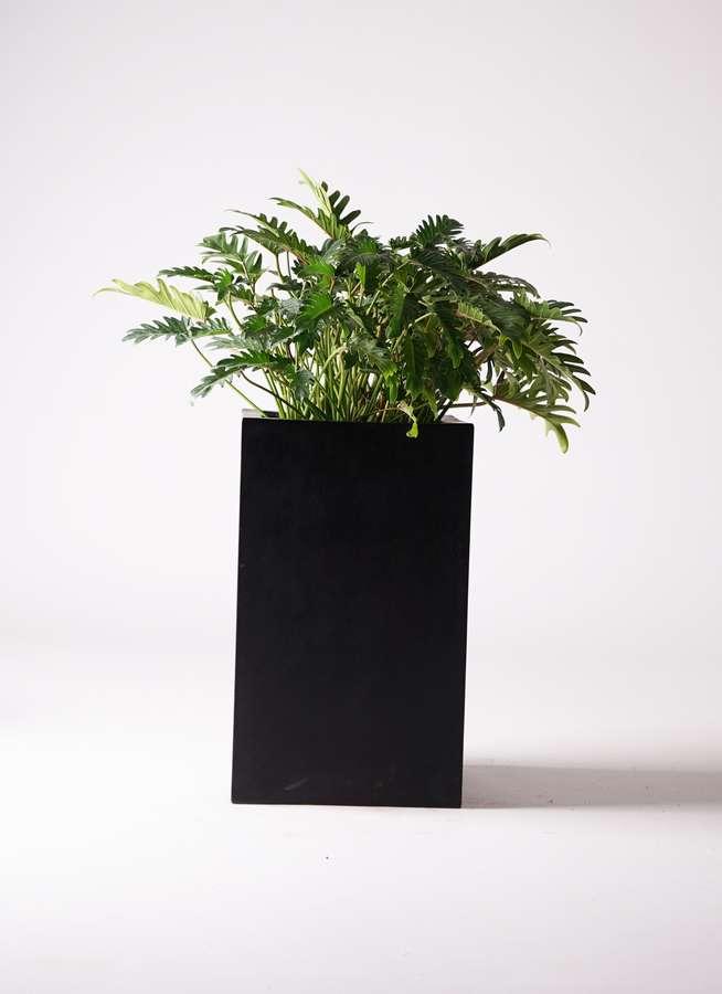 観葉植物 クッカバラ 7号 セドナロング 墨 付き