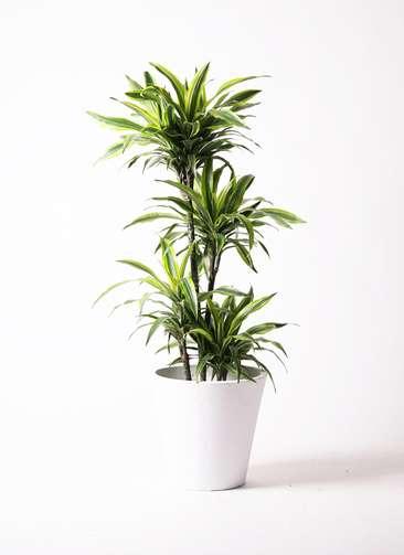 観葉植物 ドラセナ ワーネッキー レモンライム 10号 フォリオソリッド 白 付き